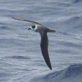 White-naped petrel. Adult in flight showing white nape. North Cape to Three Kings, March 2011. Image © Detlef Davies by Detlef Davies