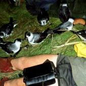 White-naped petrel. Adults attracted in to 'war-whooping' calls. Macauley Island, Kermadec Islands, November 1988. Image © Graeme Taylor by Graeme Taylor