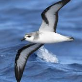 Black-winged petrel. Adult in flight. At sea on route to Kermadec Islands, March 2021. Image © Scott Brooks (ourspot) by Scott Brooks