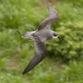 Black-winged petrel. Dorsal view of flying adult. Norfolk Island, April 2012. Image © Philip Griffin by Philip Griffin