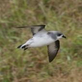 Black-winged petrel. Side view adult in flight. Norfolk Island, April 2012. Image © Philip Griffin by Philip Griffin