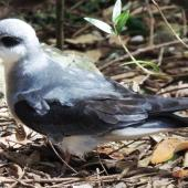 Black-winged petrel. Adult on forest floor in daylight. Phillip Island, Norfolk Island, November 2016. Image © Ian Armitage by Ian Armitage