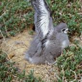 Black-winged petrel. Large chick. Curtis Island, Kermadec Islands, May 1982. Image © Colin Miskelly by Colin Miskelly