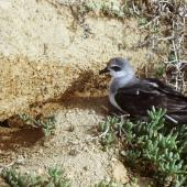 Black-winged petrel. Adult at burrow entrance in daylight. Curtis Island, Kermadec Islands, May 1982. Image © Colin Miskelly by Colin Miskelly