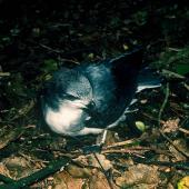 Chatham petrel. Large chick close to fledging. Rangatira Island, Chatham Islands, May 2001. Image © Colin Miskelly by Colin Miskelly