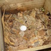Chatham petrel. Egg in nest box. Rangatira Island, Chatham Islands, February 2004. Image © Graeme Taylor by Graeme Taylor