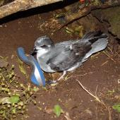 Chatham petrel. Adult (with 'Twink' on head) by nest with neoprene entrance cover. Rangatira Island, Chatham Islands, February 2004. Image © Graeme Taylor by Graeme Taylor