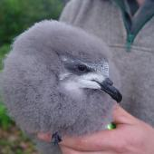 Chatham petrel. Chick in the hand. Pitt Island, Chatham Islands, May 2010. Image © Graeme Taylor by Graeme Taylor