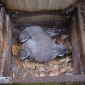 Chatham petrel. Adult and chick in nest box. Pitt Island, Chatham Islands, May 2010. Image © Graeme Taylor by Graeme Taylor