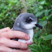 Chatham petrel. Close-up of head and bill of adult. Rangatira Island, Chatham Islands, February 2009. Image © Graeme Taylor by Graeme Taylor