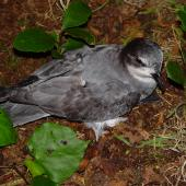 Chatham petrel. Adult on ground. Rangatira Island, Chatham Islands, February 2009. Image © Graeme Taylor by Graeme Taylor