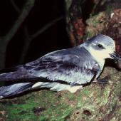 Chatham petrel. Adult on log. Rangatira Island, Chatham Islands, December 1983. Image © Colin Miskelly by Colin Miskelly