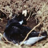 Chatham petrel. Adult in burrow. Rangatira Island, Chatham Islands. Image © Department of Conservation (image ref: 10050897) by Helen Gummer, Department of Conservation Courtesy of Department of Conservation