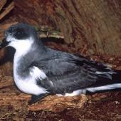 Chatham petrel. Adult in side profile. Rangatira Island, Chatham Islands, February 2004. Image © Department of Conservation (image ref: 10054728) by Don Merton, Department of Conservation  Courtesy of Department of Conservation