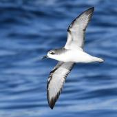 Cook's petrel. Adult in flight showing underwing. Tutukaka Pelagic out past Poor Knights Islands, July 2021. Image © Scott Brooks (ourspot) by Scott Brooks