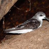 Cook's petrel. Adult on surface. Whenua Hou / Codfish Island, March 2006. Image © Graeme Taylor by Graeme Taylor