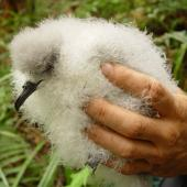 Cook's petrel. Chick in hand. Whenua Hou / Codfish Island, March 2006. Image © Graeme Taylor by Graeme Taylor