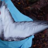 Cook's petrel. Underwing of adult. , November 2004. Image © Graeme Taylor by Graeme Taylor