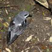 Cook's petrel. Adult at breeding colony showing back and folded wings. Whenua Hou / Codfish Island, December 2011. Image © Colin Miskelly by Colin Miskelly
