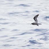 Collared petrel. Dark morph adult in flight. At sea off Kermdec Islands, March 2021. Image © Brent Stephenson by Brent Stephenson