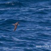 Collared petrel. Intermediate morph adult in flight (first New Zealand record). At sea near Three Kings Islands, March 2011. Image © Brent Stephenson by Brent Stephenson