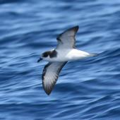 Stejneger's petrel. Adult in flight. Off Robinson Crusoe Island, November 2005. Image © Alvaro Jaramillo by Alvaro Jaramillo