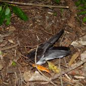 Pycroft's petrel. Adult entering burrow. Red Mercury Island, December 2009. Image © Graeme Taylor by Graeme Taylor