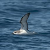 Pycroft's petrel. Adult in flight. Off Whitianga, January 2012. Image © Philip Griffin by Philip Griffin