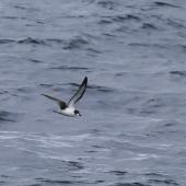 Pycroft's petrel. Adult in flight at sea. At sea off Whangaroa Harbour, Northland, January 2011. Image © Jenny Atkins by Jenny Atkins www.jennifer-m-pics.ifp3.com