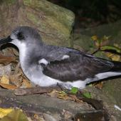 Pycroft's petrel. Adult at breeding colony. Aorangi Island, Poor Knights Islands, February 2013. Image © Colin Miskelly by Colin Miskelly
