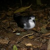 Pycroft's petrel. Front view of adult at breeding colony. Taranga / Hen Island, December 2010. Image © Colin Miskelly by Colin Miskelly