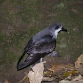 Pycroft's petrel. Adult at breeding colony. Taranga / Hen Island, December 2010. Image © Colin Miskelly by Colin Miskelly