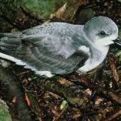 Pycroft's petrel. Adult at breeding colony. Poor Knights Islands. Image © Department of Conservation (image ref: 10023977) by Mike Aviss, Department of Conservation Courtesy of Department of Conservation