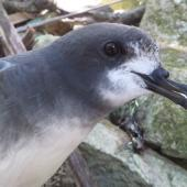 Gould's petrel. Adult at breeding colony. Cabbage Tree Island, December 2013. Image © Dean Portelli by Dean Portelli