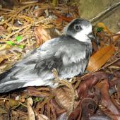 Gould's petrel. Fledgling at breeding colony (subspecies caledonica). New Caledonia, May 2016. Image © Sven Mauri by Sven Mauri