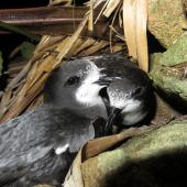 Gould's petrel. Courting adults at breeding colony. Cabbage Tree Island, November 2016. Image © Dean Portelli by Dean Portelli