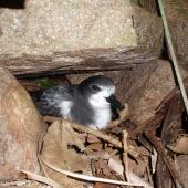Gould's petrel. Adult in nest underneath rock. Cabbage Tree Island, November 2010. Image © Dean Portelli by Dean Portelli