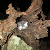 Gould's petrel. Nestling at entrance to nest in fallen hollow tree. Cabbage Tree Island, April 2014. Image © Dean Portelli by Dean Portelli