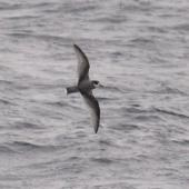 Blue petrel. Adult in flight. Southern Indian Ocean, December 2011. Image © Sergey Golubev by Sergey Golubev