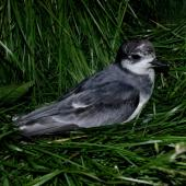 Blue petrel. Adult at breeding colony. Ile aux Cochons, Iles Kerguelen, January 2016. Image © Colin Miskelly by Colin Miskelly