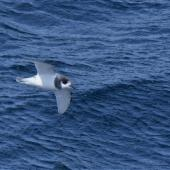 Blue petrel. Ventral view of bird in flight. At sea, Halfway between Easter Island and Chile, November 2017. Image © Cyril Vathelet by Cyril Vathelet