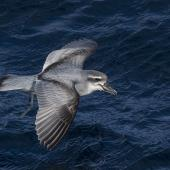 Broad-billed prion. Adult in flight. Off Tutukaka, July 2018. Image © Oscar Thomas by Oscar Thomas