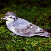Antarctic prion. Adult. Enderby Island, Auckland Islands, February 1988. Image © Graeme Taylor by Graeme Taylor