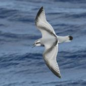 Antarctic prion. Adult in flight. At sea on route to Kermadec Islands, March 2021. Image © Scott Brooks (ourspot) by Scott Brooks