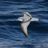 Antarctic prion. Adult in flight. Scotia Sea (between Antarctic Peninsula and South Georgia), February 2019. Image © Glenn Pure 2019 birdlifephotography.org.au by Glenn Pure