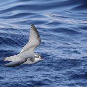 Thin-billed prion. Juvenile in flight. 50 km off Port Fairy, Victoria, Australia, April 2021. Image © Ian Wilson by Ian Wilson