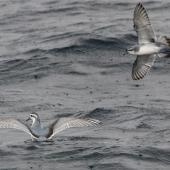 Thin-billed prion. Adult, with fairy prion to right. At sea off Port Stephens, New South Wales, August 2016. Image © Dick Jenkin by Dick Jenkin  www.jenkinphotography.com.au