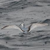 Thin-billed prion. Adult. At sea off Port Stephens, New South Wales, August 2016. Image © Dick Jenkin by Dick Jenkin www.jenkinphotography.com.au