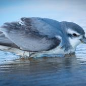 Thin-billed prion. Crouched on beach after storm. Ninety Mile Beach, July 2018. Image © Les Feasey by Les Feasey