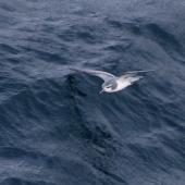 Thin-billed prion. Adult in flight. Off north coast of Kerguelen Islands, December 2015. Image © Colin Miskelly by Colin Miskelly